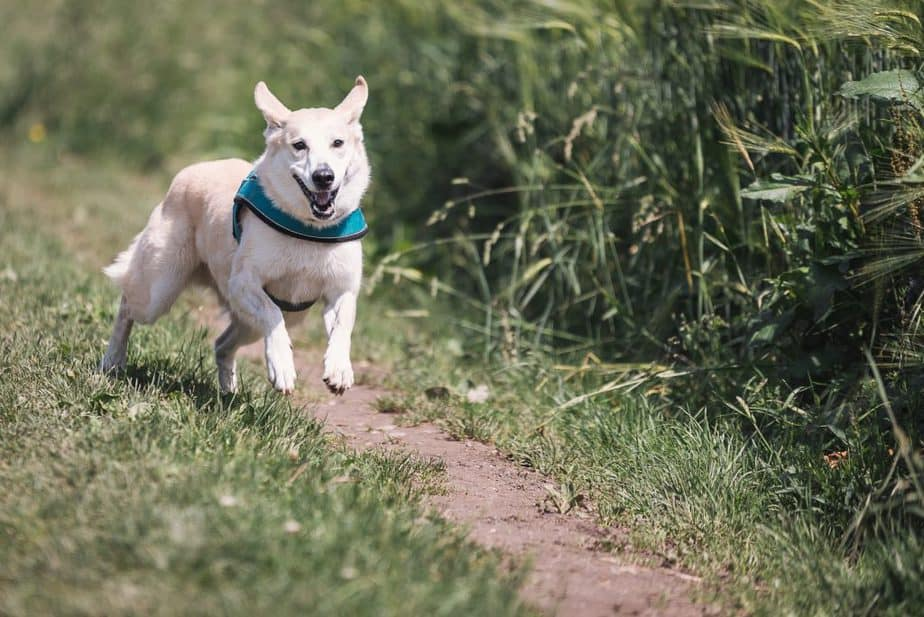 white-dog-with-teal-collar-running-outside